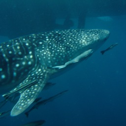 Whale Shark Diving in Thailand