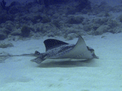 A stingray in Curacao