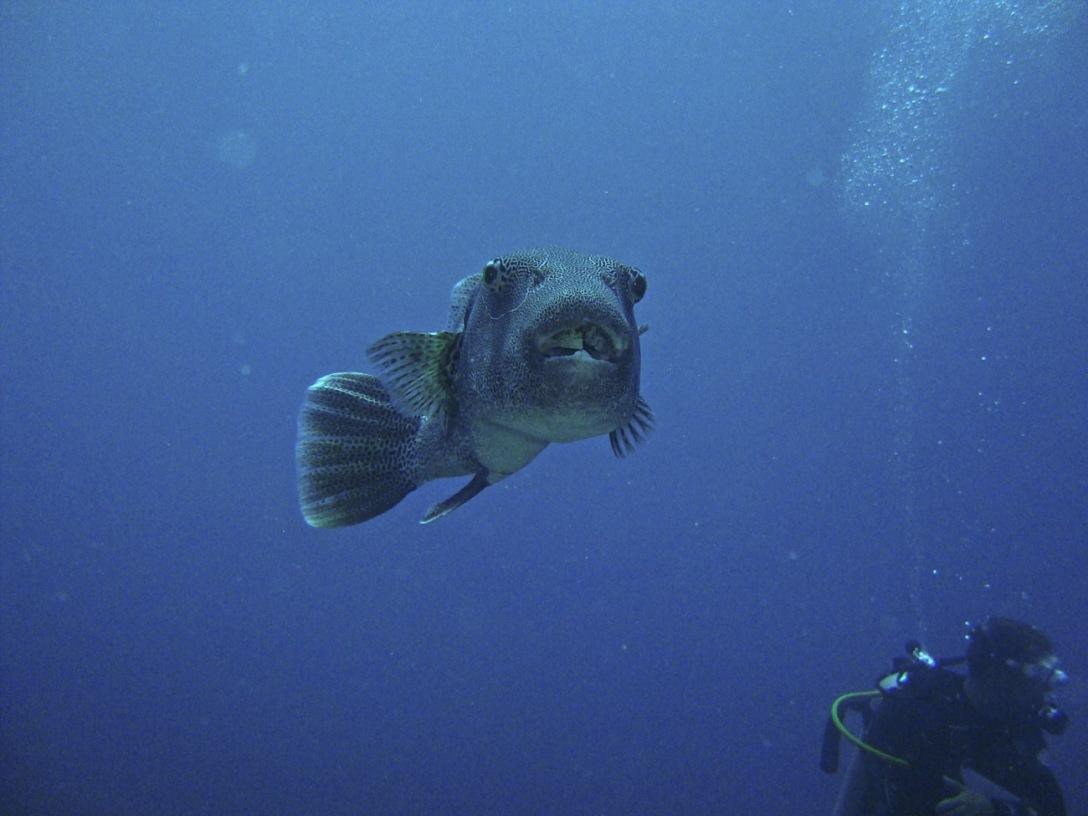 koh-tao-monkfish.jpg